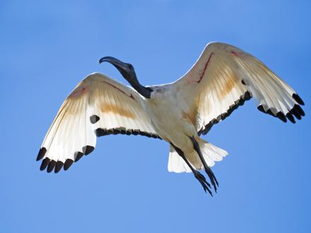 Heilige ibis